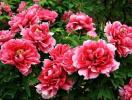 Tài lộc thăng tiến nhờ trồng những loại hoa hợp phong thủy