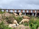 Khu đô thị mới lớn nhất Cần Thơ trở thành nơi chăn cừu