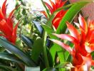 Trồng cây dứa cảnh nến đỏ mang lại may mắn, thịnh vượng dịp Tết