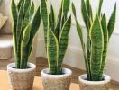5 loại cây phong thủy nên trồng trong phòng ngủ