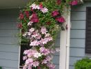 Tạo điểm nhấn đặc biệt cho khu vườn với hoa ông lão