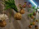 Tô điểm không gian sống với nghệ thuật trồng cây Kokedama của người Nhật