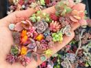 Trồng ngay sen đá mini – loài cây mọng nước nhỏ bé nhưng hữu ích không ngờ