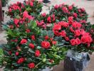 Những loại cây không nên trồng trong nhà dù có đẹp đến mấy