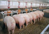 Bán trại heo giống Xã Phước Sang, Phú Giáo, Bình Dương, Có 10.000 con heo đang cho thuê 450tr/th