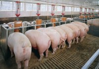 Chính chủ cần bán trại heo công nghệ cao đang cho thuê nuôi 10.000 con (440tr/tháng) bán 55 tỷ