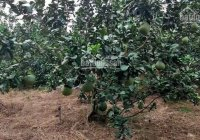 Vườn bưởi 13.220m2 Bắc Tân Uyên, Bình Dương thu nhập ổn định 1 tỷ/ năm