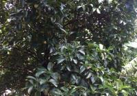 Bán vườn trái cây ngay khu du lịch Cầu Ngang. Giá TT 5,5 triệu/m2