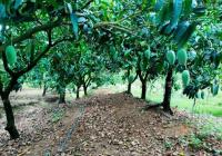 Hơn 3000m2 đất vườn, trồng xoài đang mang trái - Cần bán gấp ở gần trường THPT Phú Hữu