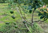 Bán vườn trái cây view sông Bảo Lộc 700m2 (15x47m), giá 790tr