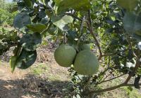 Bán đất vườn trái cây Suối Rao - Châu Đức - BRVT