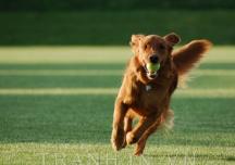 Năm Mậu Tuất tìm hiểu ý nghĩa biểu tượng chó trong phong thủy