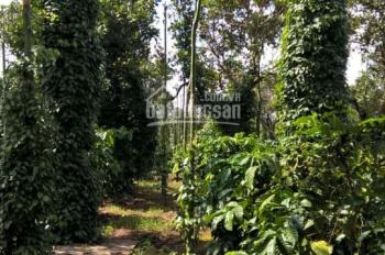 Bán gấp 5 mẫu đất vườn (tiêu, điều, cafe, bơ), đang thu hoạch-LH 0938 018 295 Vân chính chủ
