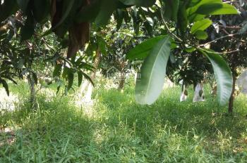 Cần sang nhượng đất vườn cây ăn trái, ao nuôi cá, tường xây cao 3m hết khu đất