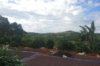 Bán rẫy 2,5 hecta trồng 800 gốc cà phê và 300 gốc bơ Mỹ