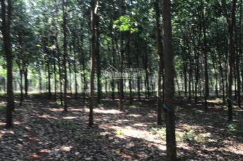 Bán 4.2ha vườn cao su đang cạo tại Xuân Lộc