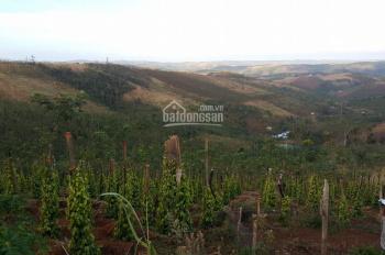 Bán đất trồng tiêu Đắk Nông đã thu hoạch 3 năm DT 3ha giá 680tr còn thương lượng LH 0984975697 Trâm