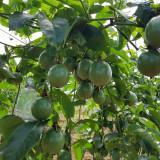 Bán vườn diện tích 5ha còn mở rộng không tranh chấp, ĐC xã Nâm N' Jang, Đắk Song, Đắk Nông