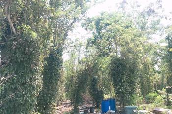 Bán đất vườn trồng tiêu, vừa trồng thêm bưởi, sầu riêng xã Tà Lài, Tân Phú, Đồng Nai