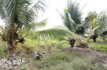 Bán vườn dừa 3 tuổi đang ra hoa và trái
