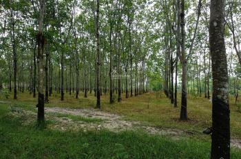 12 ha trang trại cao su Dầu Tiếng mặt tiền sông, 19 tỷ 0971634579