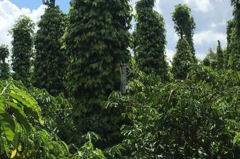 Bán rẫy cà phê xen tiêu bao đẹp thôn Cao Thành, xã Ea Kao