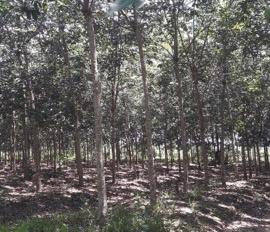 Cần bán 5 ha đất mặt tiền đường nhựa, đang trồng cao su, LH 0902192579 gặp Thoại