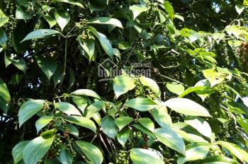 Bán căn nhà cấp 4 130m2 kèm 1.200m2 đất vườn giá 950 triệu huyện Buôn Đôn, tỉnh Đắk Lắk
