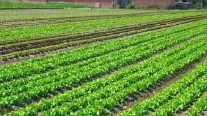 Chính chủ bán lại 1610m2 đất nông nghiệp Thanh Trì đã có sổ 50 năm - 0981368838