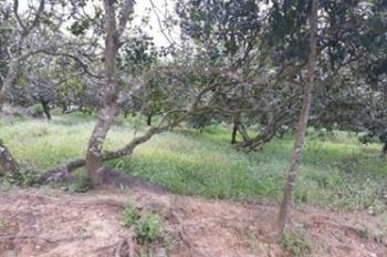 Cần bán gần 4ha đất đang trồng điều đã đến tuổi thu hoạch, 0902192579 gặp Thoại