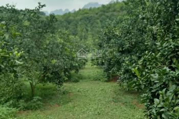 Bán trang trại vườn cam - Trang trại cam Hòa Bình