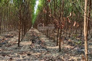 Bán 7ha đất Xuân Hòa, Xuân Lộc Đồng Nai, đang trồng tràm, cây khoai mì, kế bên trại heo bò