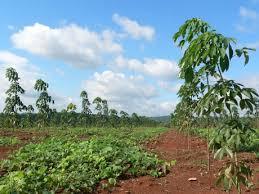 Bán 2 hecta (2 mẫu) cao su trồng năm 1, giá 1,5 tỷ