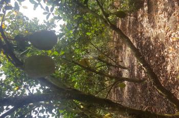Cần bán vườn cây ăn trái đang cho thu hoạch gồm mít, cam, quýt, dừa