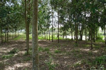 Bán vườn cao su 2 hecta đang cho thu hoạch