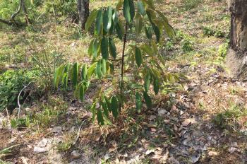Chính chủ cần bán 13000m2 đất vườn đang trồng sầu riêng năm 2 ở Lộc Bắcm Bảo Lâm, Lâm Đồng