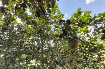 Cần tiền bán nhanh trang trại 300 gốc bưởi tại Khánh Vĩnh chỉ 1,3 tỷ: LH - 0869 717979 Mr. Hùng