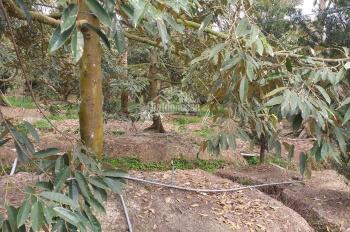 Bán gấp đất trồng sầu riêng đang ra trái để chia tài sản