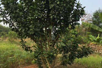 Bán 6300m2 vườn cây ăn trái đội 17 Thanh Phú, Bình Long, 2,2 tỷ