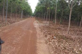 Bán gấp 16,3 ha cao su tại Xuân Thành