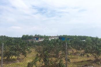 Cần bán gấp hơn 1 sào đất trồng bưởi đang ra trái, đã làm hệ thống tưới nước tự động, điện đầy đủ