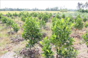 Cần tiền bán nhà đất 450m2, giá bán 2,3 tỷ trên vườn đã có trồng mít thái 2 năm có thể thu hoạch