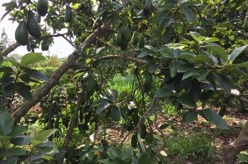 Bán 3 Sào 7 ( 3.700m2 ) Đất Vườn Trái Cây Tại Xã Bảo Bình , Cẩm Mỹ , Đồng Nai ||0935605866 Mr Quân