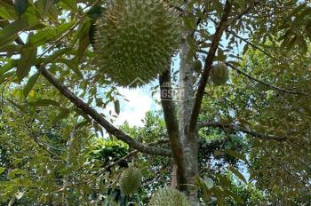 Bán 5546m2 vườn trái cây đang thu hoạch, có sẵn mọi thứ, gần QL56, Châu Đức - BRVT