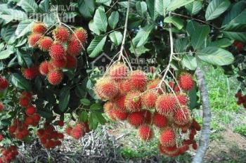 Cần bán hơn 1 mẫu 7 (17.309m2) đất trồng cây ăn trái, nhà yến đang thu hoạch, đường 8m