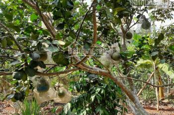 Bán 6200m2 vườn trái cây đang thu hoạch, có sẵn mọi thứ, cách Hồ Kim Long 25m Châu Đức - BRVT