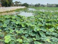 Chính chủ cần bán gấp lô đất nền Hòa Lạc ở hồ sen Lotus, sổ đỏ trao tay giá từ 1,4 tỷ. 0397180548