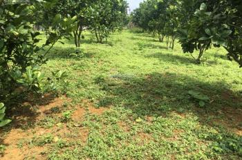 Bán gấp 3000m2 toàn bộ vườn đã trồng bưởi Diễn đã được 5 năm tại lương Sơn,hoà bình.giá rẻ