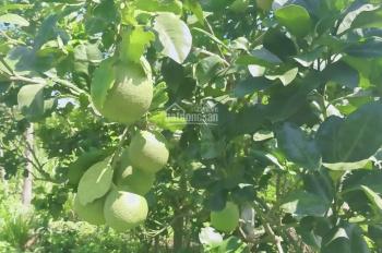 Cần bán 8281,50 m2(hơn 8 sào )vườn bưởi đang thu hoạch lh 090 219 2579 gặp Minh Thoại