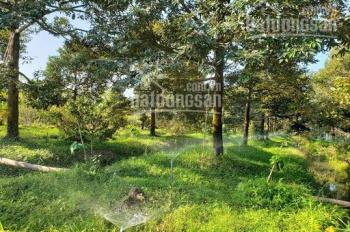 Chính chủ cần bán vườn sầu riêng 2000m2 đang thu hoạch tại Ngũ Hiệp, Tiền Giang